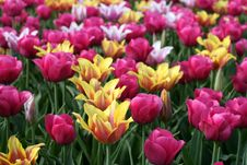 Free Tulips Stock Photo - 9056530