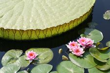 Free Water Lilies Stock Images - 9056944