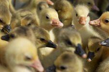 Free Goslings Stock Photos - 9057113