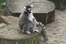 Free Lemur Kata Royalty Free Stock Photography - 9057157