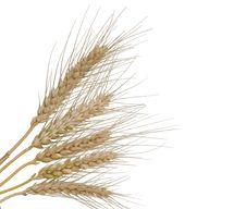 Free Wheat Royalty Free Stock Photo - 9057265