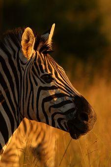 Free Zebra Stock Photo - 9057410