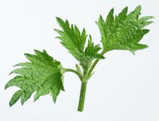 Free Leaves Of Nettle Royalty Free Stock Photos - 9058078