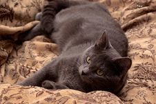 Free Lying Grey Cat Stock Photos - 9058583