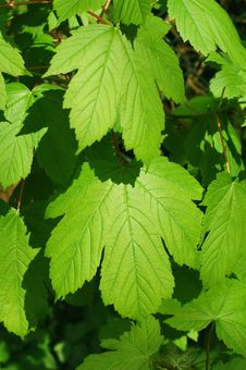 Free Luscious Leaves Royalty Free Stock Image - 9058936