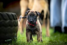 Free Young Puppy Dog Stock Images - 90553364