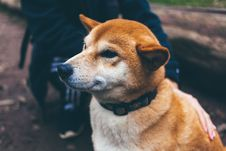Free Tan And White Akita Puppy Stock Images - 90554194