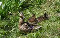Free Mallard Duck With Ducklings Stock Image - 9060661
