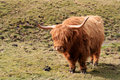 Free Highland Cattle On Meadow Royalty Free Stock Image - 9063366