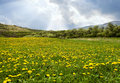 Free Beautiful Field Of Dandelions Royalty Free Stock Photos - 9064858