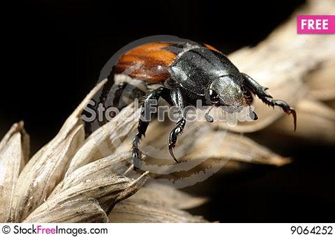 Bug on wheat ear Stock Photo
