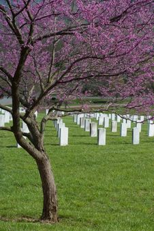 Redbud At Veterans Cemetery Stock Photos