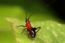 Macro Of Red And Black Grasshopper Stock Images