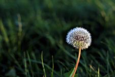 Free Dandelion Royalty Free Stock Photography - 9062327