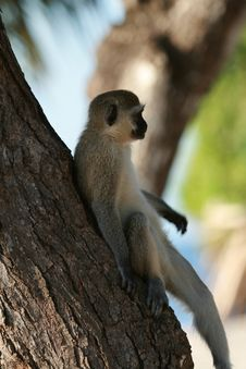 Monkey On The Tree Royalty Free Stock Images