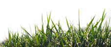 Free Grass With Dew Royalty Free Stock Image - 9063446