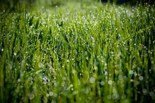 Free Grass With Dew Royalty Free Stock Photography - 9063457