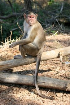 Free Macaque Monkey Sitting On Tree Trunk Royalty Free Stock Images - 9063509