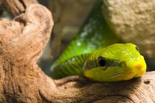 Free Red Tailed Racer Stock Photography - 9063852