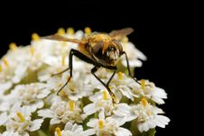Free The Fly On White Small Flowers Stock Photos - 9064303