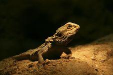 Free Lizard Stock Image - 9064771