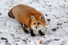 Free Red Fox Royalty Free Stock Photos - 9067138