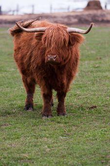 Free Highland Cow (Kyloe) Royalty Free Stock Photography - 9068077
