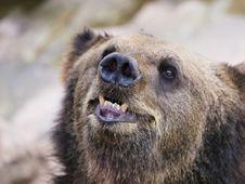 Free Bear Sniffing Stock Photos - 9068463