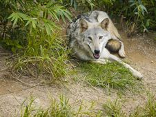 Free Wolf Lying On Grass Looking At You Royalty Free Stock Photo - 9068535