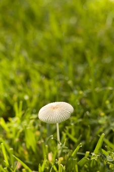 Free Wild Mushroom In Grass Royalty Free Stock Photo - 9069935