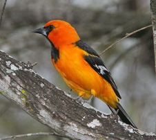 Free Orange Oriole Royalty Free Stock Photography - 90612627