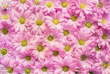 Free Background Of Pink Daisy Flowers Stock Photography - 90614952
