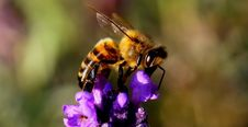 Free Honey Bee, Bee, Insect, Nectar Stock Photos - 90615503