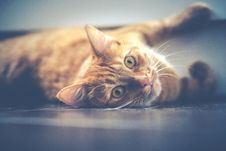 Free Cat, Whiskers, Mammal, Small To Medium Sized Cats Royalty Free Stock Photos - 90615598