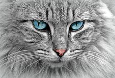 Free Cat, Whiskers, Face, Eye Royalty Free Stock Photography - 90615657