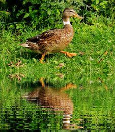 Free Brown White Black Duck Stock Image - 90659651
