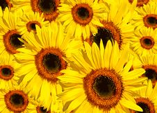 Sunflower Abstract Stock Images