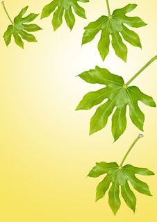 Free Fig Leaves Stock Photo - 9072170