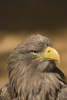 Free White-tailed Eagle ( Haliaeetus Albicilla) Royalty Free Stock Images - 9072249