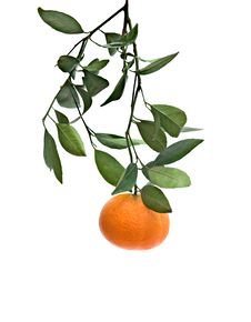 Free Branch With Tangerine Royalty Free Stock Photo - 9073275