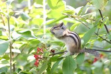Free Chipmunk Stock Photography - 9073702