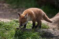 Free Red Fox Stock Photography - 9073852
