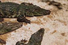 Free Crocodiles Stock Image - 9074051