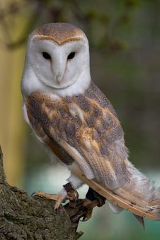 Free Barn Owl On Perch Royalty Free Stock Photography - 9074537