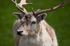 Free Fallow Deer Stag Royalty Free Stock Photography - 9074587