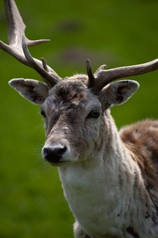Free Fallow Deer Stag Stock Photography - 9074632