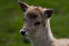 Free Fallow Deer Fawn Royalty Free Stock Photos - 9074668