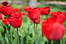 Free Red Tulips Stock Images - 9076474