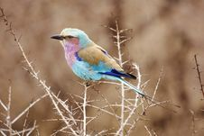 Free Lilac Breasted Roller In Thorn Tree Royalty Free Stock Photography - 9076597