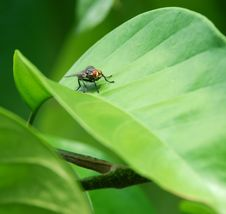 Free A Fly On The Lancium Leaf Stock Photo - 9077220